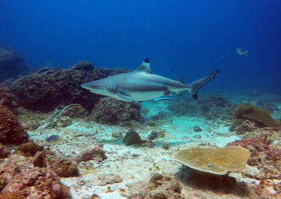 Phi-Phi-Islands-dive-sites-Diving-with-balcktip-sharks