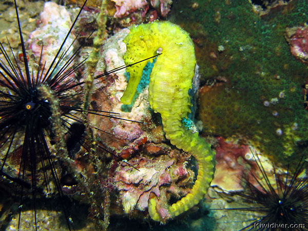 Diving at Shark Point dive site Thailand with yellow seahorse